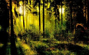 191665__lighted-forest_p